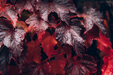 Photo sur Aluminium Bordeaux Bright red leaves of wild grapes or ivy leaves on brick wall. Fall season, autumn background concept