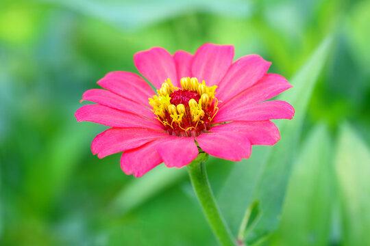 Pink Zinnia flower in the green garden