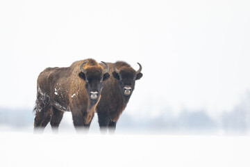 European bison in the snow