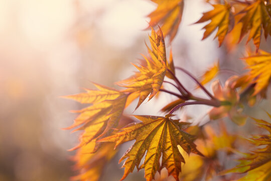 Beautiful autumn background with yellow fall maple leaves and abstract bokeh sun light