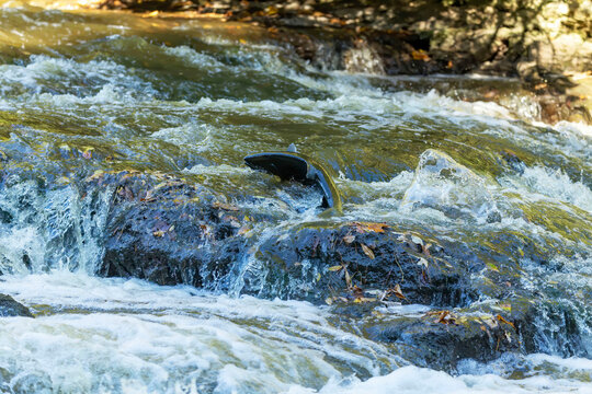 Chinook Salmon also known as King Salmon returning to their home rivers to spawn