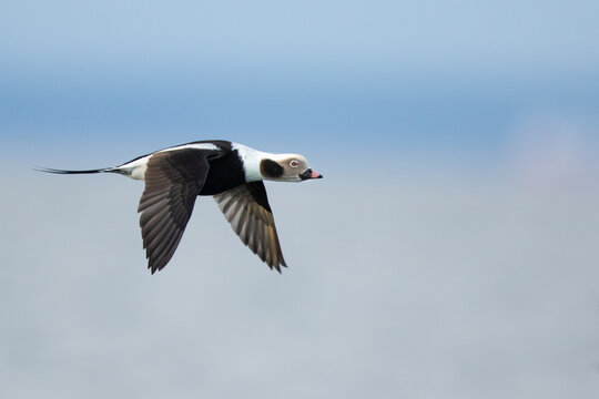 long-tailed duck in flight over the  Baltic sea