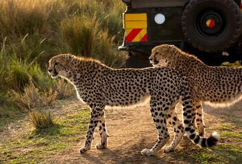 Wall Mural - A pair of Cheetahs at the bank of Mara river in the evening light, Masai Mar