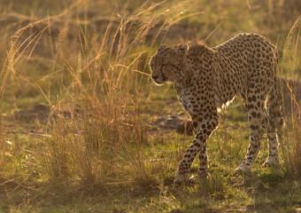 Wall Mural - A wet Cheetah in the evening light at Masai Mara, Kenya