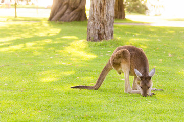 Beautiful kangaroo standing on eating grass Perth, Western Australia, Australia