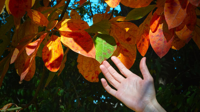 A woman's hand reaches for a green leaf. Natural background with autumn leaves
