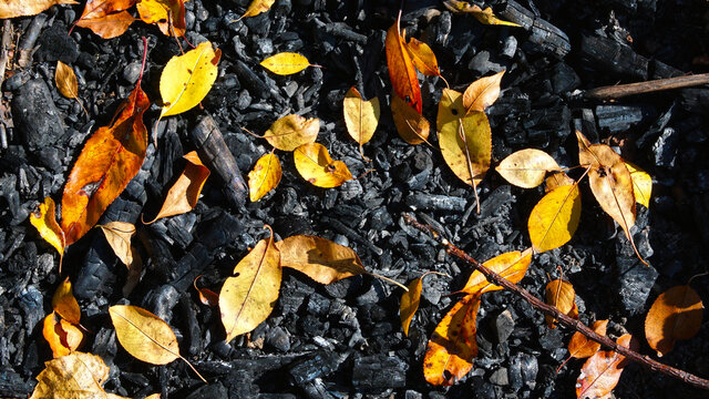Natural background with yellow autumn leaves laying on charred earth and wood