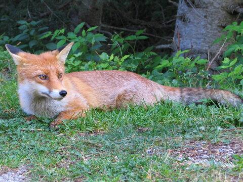 renard roux dans les bois