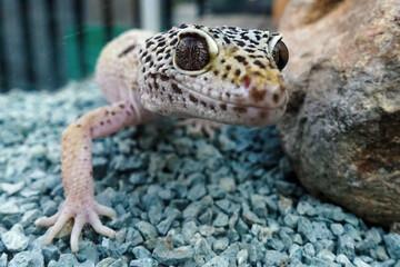 Cute leopard gecko on blue gravel in terrarium Wall mural