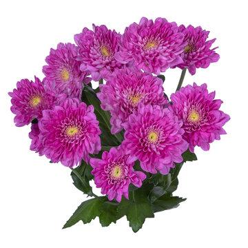 Pink spray chrysanthemum. Isolated background.