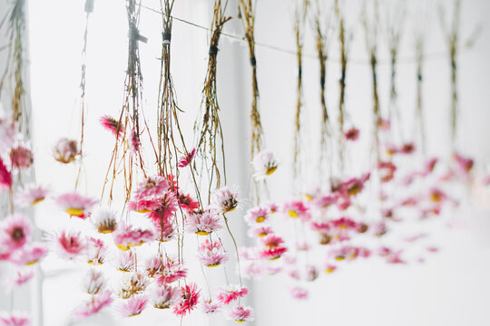 Pink flowers dry on rope near window, the natural background