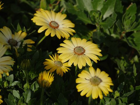 Blooming African yellow daisy flowers in the garden