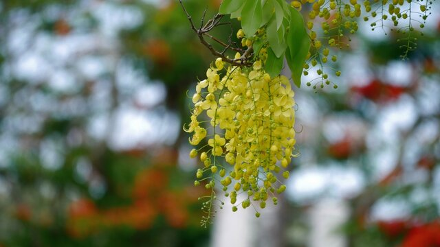 Wide shot of a cluster of bright yellow golden shower flowers, bokeh in the  background