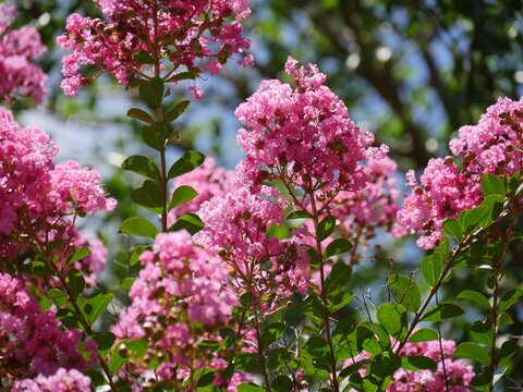 Clusters of bibrant pink cape myrtle flowers, with bokeh in the background