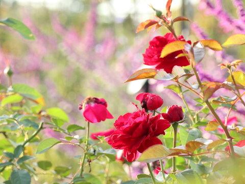 バラ園の赤いバラ