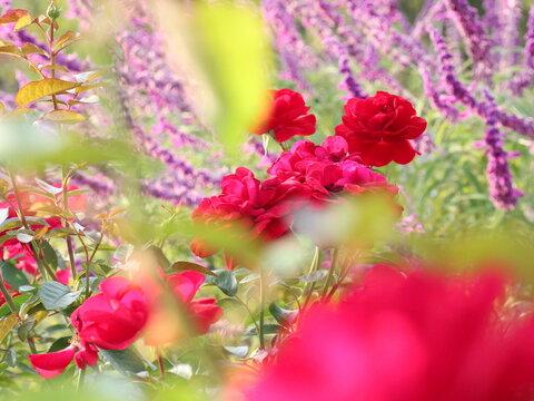 バラ園の赤いバラとアメジストセージ