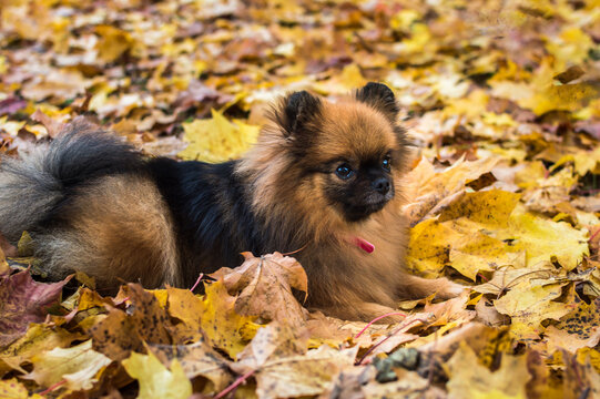 Portrait of a dog of breed Spitz close-up in yellow autumn foliage