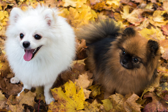 Two dogs are sitting in yellow autumn foliage. Autumn concept
