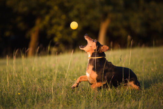 cute dachshund terrier mixed breed dog jumping for a yellow ball in tall grass at sunset