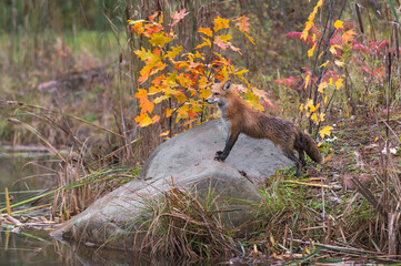Wall Mural - Red Fox (Vulpes vulpes) Stands on Rock at Waters Edge Autumn