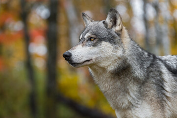 Wall Mural - Grey Wolf (Canis lupus) Looks Up and Left Against Autumn Colors