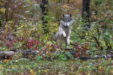 Wall Mural - Grey Wolf (Canis lupus) Leaps Over Log Autumn