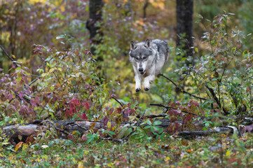 Wall Mural - Grey Wolf (Canis lupus) Airborne Over Log Autumn