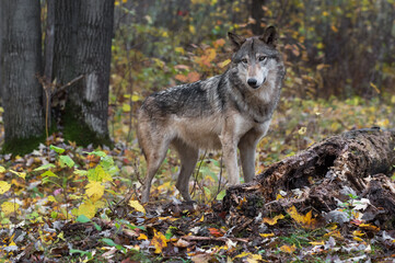 Wall Mural - Grey Wolf (Canis lupus) Stands Next to Log Autumn
