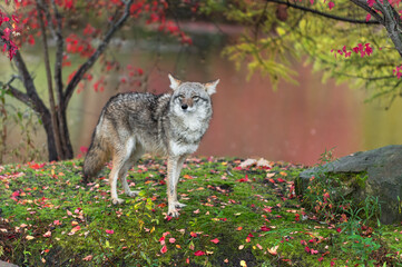 Wall Mural - Coyote (Canis latrans) Looks Out Ears to Sides Autumn