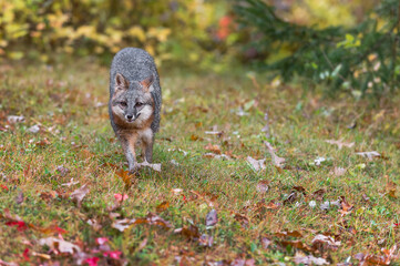 Wall Mural - Grey Fox (Urocyon cinereoargenteus) Runs Forward in Drizzle Autumn