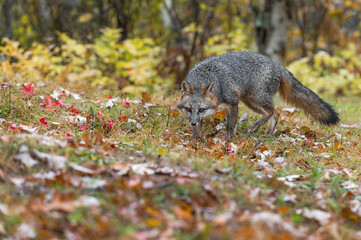 Wall Mural - Grey Fox (Urocyon cinereoargenteus) Stalks Forward in Drizzle Autumn