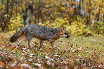 Wall Mural - Grey Fox (Urocyon cinereoargenteus) Trots Right in Light Drizzle Autumn