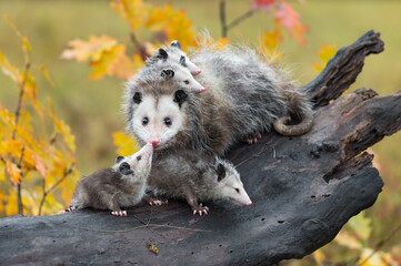 Wall Mural - Virginia Opossum (Didelphis virginiana) Joey Touches Mother on Nose Autumn