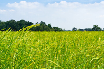 yellow green rice field on blue sky background