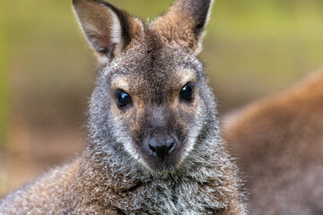 Close up of the head of a Bennett kangaroo
