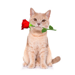 cat kitten  love rose valentines