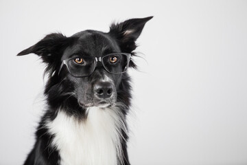 Close up portrait of funny dog wearing glasses. Border Collie nerd, back to school, animal...