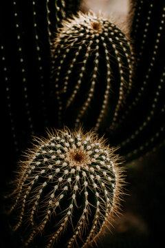 cactus thorn