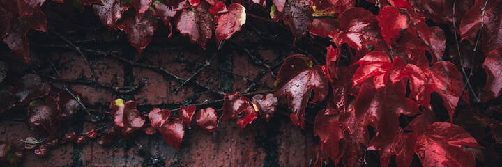 Bright red leaves of wild grapes or ivy leaves on brick wall. Fall season, autumn background concept, banner size