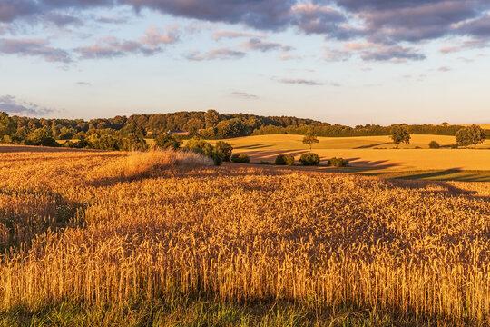 Weizenfeld bei Sonnenuntergang bei Malente in der Holsteinischen Schweiz, Schleswig-Holstein