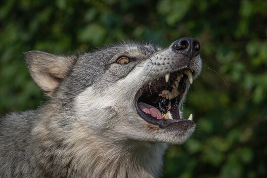 Wolves Howling, Fighting and Playing