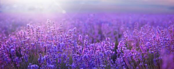 Sunset sky over a summer lavender field
