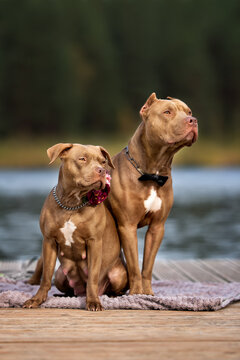 two american pit bull terrier dogs posing together