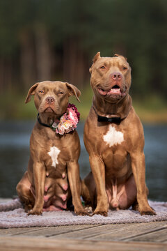 two american pit bull terrier dogs sitting outdoors together