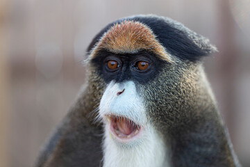 The De Brazza's monkey (Cercopithecus neglectus) is an Old World monkey endemic to the wetlands of central Africa. De Brazza's monkey (Cercopithecus neglectus) at the zoo.