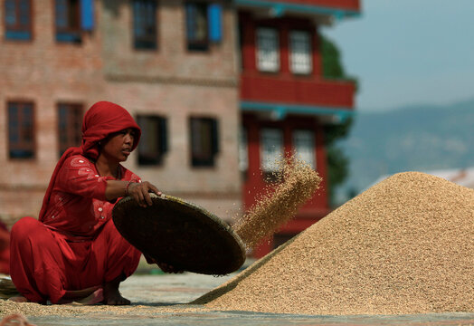 A farmer collects paddy rice grains after drying them in the sun, after the harvest in Bhaktapur