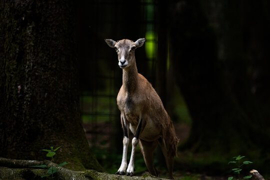 A young brown goat standing in the forest (high resolution image)