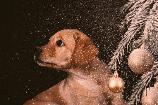 Labrador Welpe vor Tannenzweig mit Weihnachtskugeln
