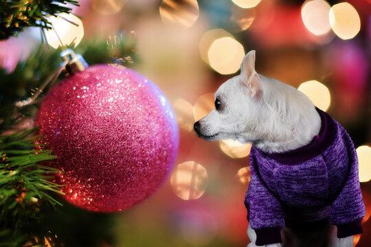 Chihuahua mit Pullover vor rosa Weihnachtskugel