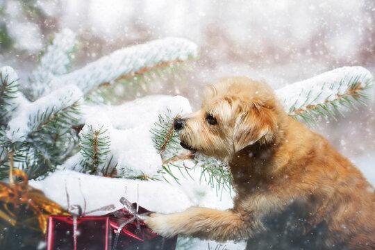 Mischling im Schnee mit Weihnachtsgeschenk